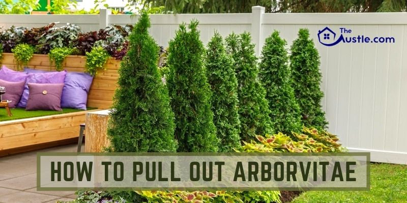 how-to-pull-out-arborvitae