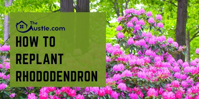 How To Replant Rhododendron