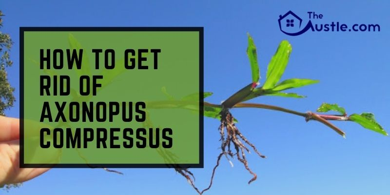 How to Get Rid of Axonopus Compressus